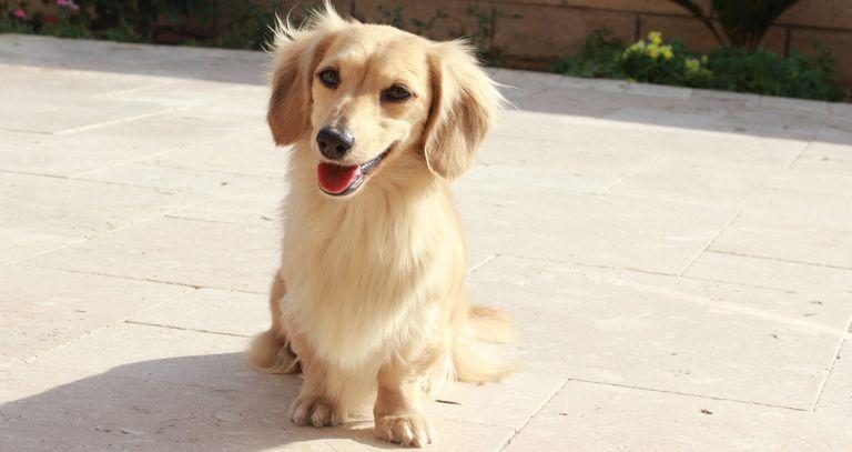 Mini Dachshund Dapple Puppies For Sale In Florida