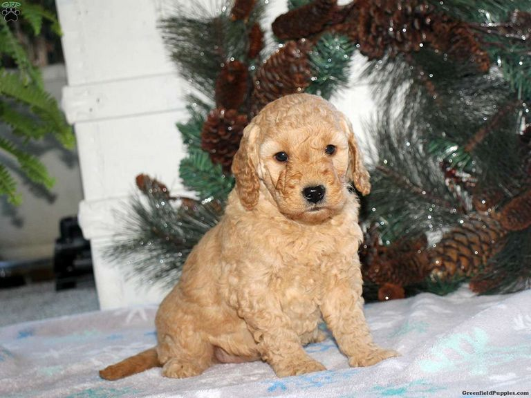 Mini English Bulldog Puppies For Sale In Ohio