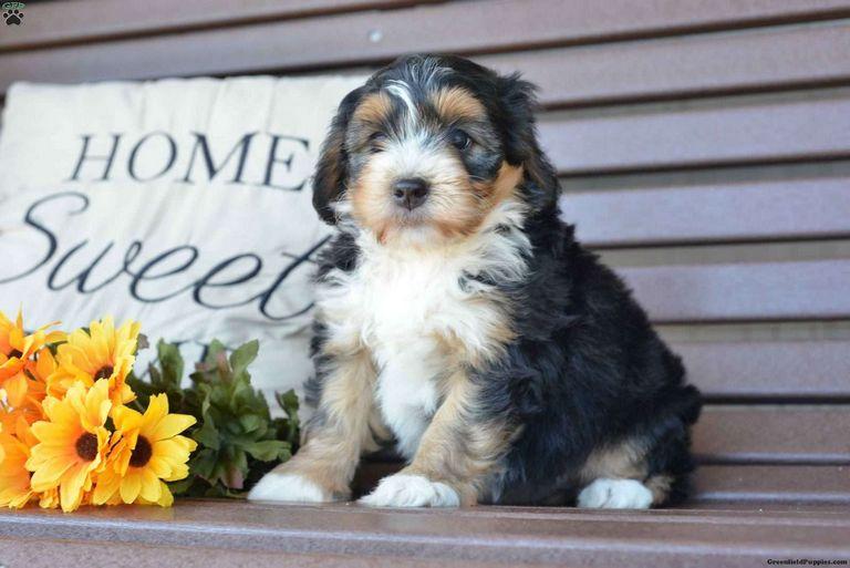 Mini English Bulldogs For Sale In Massachusetts