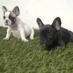 Mini French Bulldog For Sale