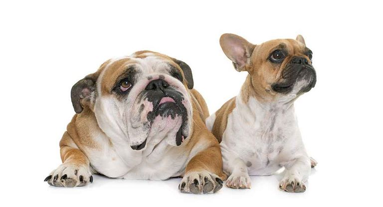 Mini French Bulldog Vs French Bulldog