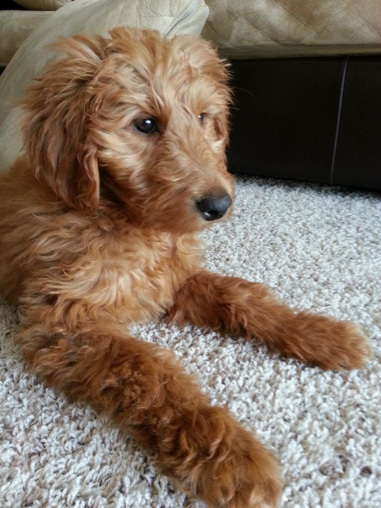 Mini Goldendoodle Indiana