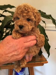 Mini Goldendoodle Price