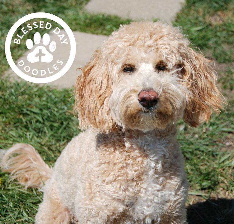 Mini Goldendoodle Rescue Ny