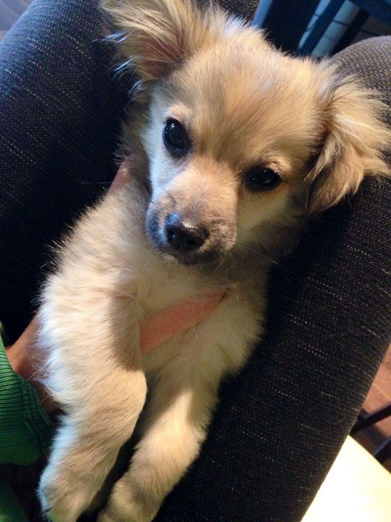 Mini Havanese Puppies For Sale In California