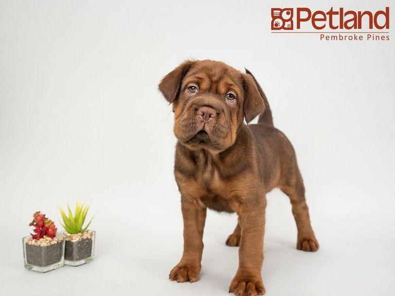 Mini Hippo Puppies For Sale Florida
