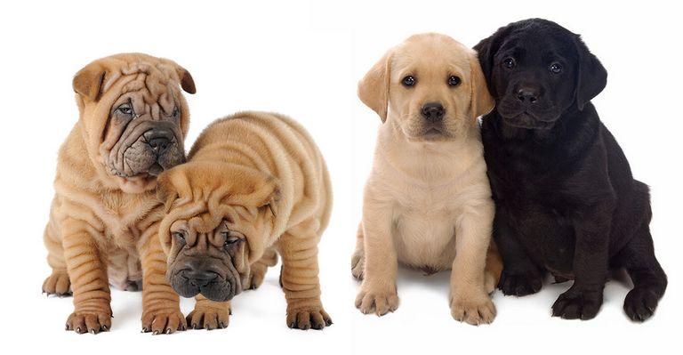 Mini Shar Pei Puppies For Sale In Virginia