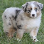Miniature Australian Shepherd For Sale In Tn