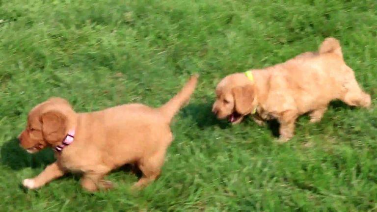 Miniature Blue Heeler Puppies For Sale