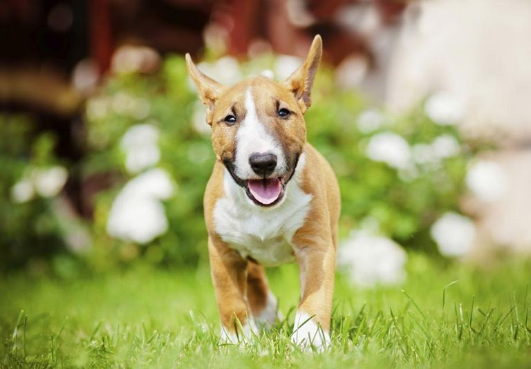 Miniature Bull Terrier For Sale In Florida