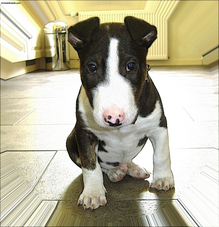 Miniature Bull Terrier Kennels