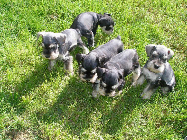 Miniature Bulldog Puppies Michigan