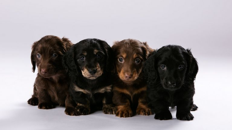 Miniature Dachshund Puppies For Sale In Houston Texas