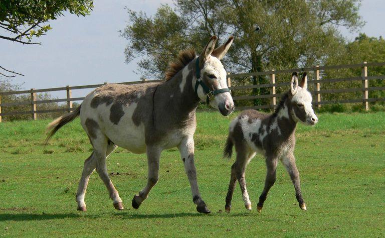 Miniature Donkey For Sale Colorado