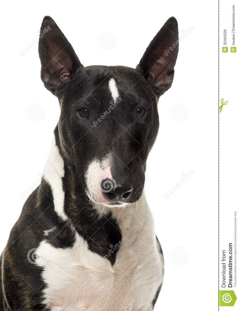 Miniature English Bull Terrier Breeders
