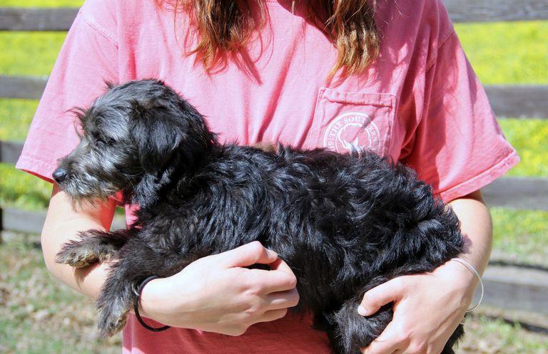 Miniature English Bulldog Puppies For Sale In Illinois