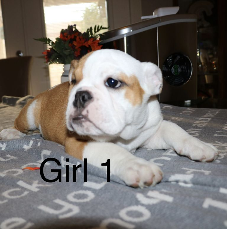 Miniature English Bulldog Puppies For Sale In Nc