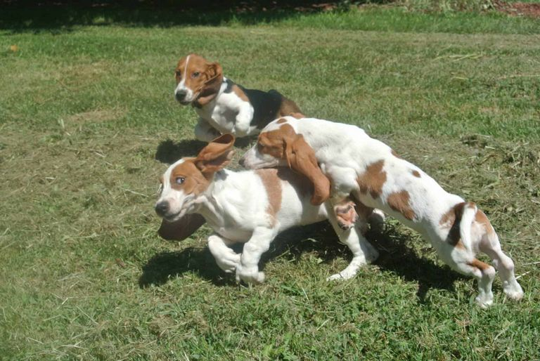 Miniature English Bulldogs Ny