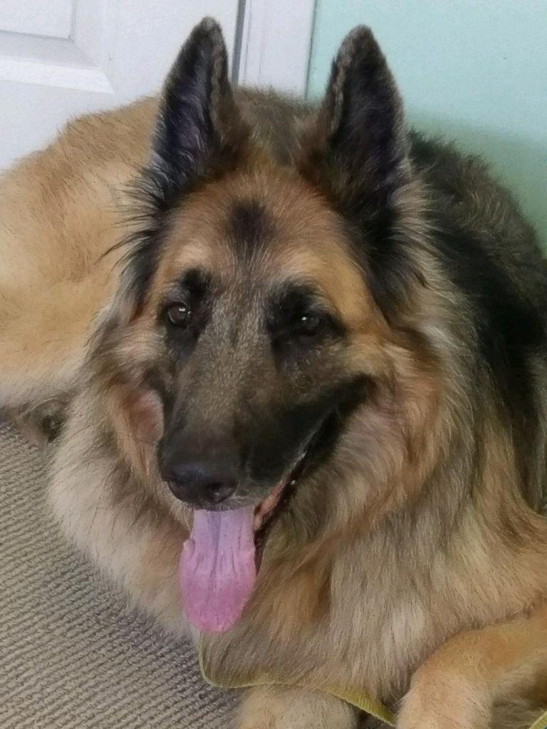 Missouri German Shepherd Rescue