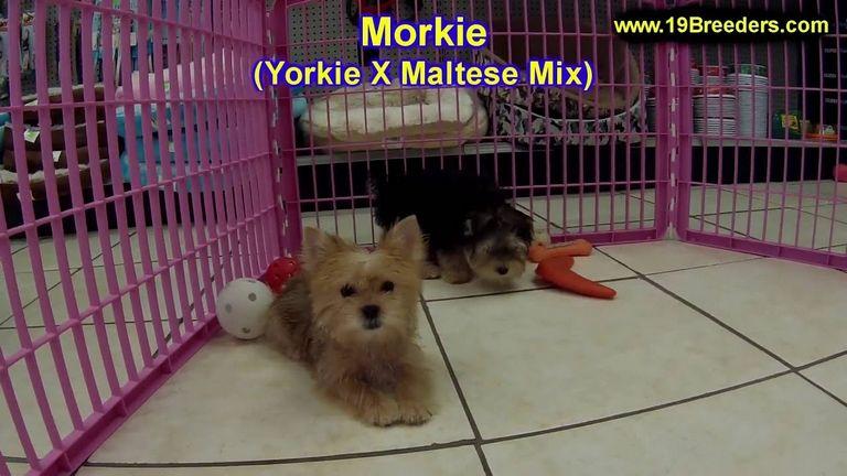 Morkie Breeders In New England