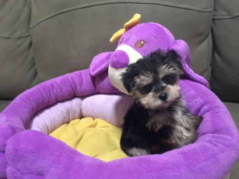 Morkie Poo Puppies For Sale Iowa