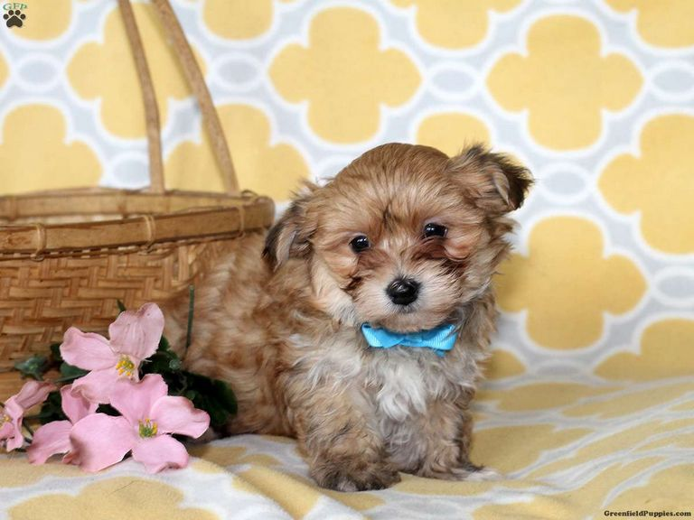 Morkie Puppies For Sale In Minnesota