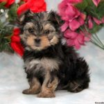 Morkie Puppies For Sale Tn