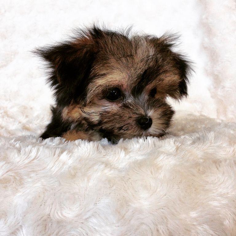 Morkie Puppy Breeders