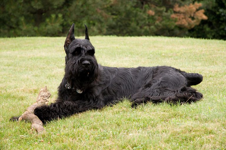 Most Popular Dog Breed In The Us