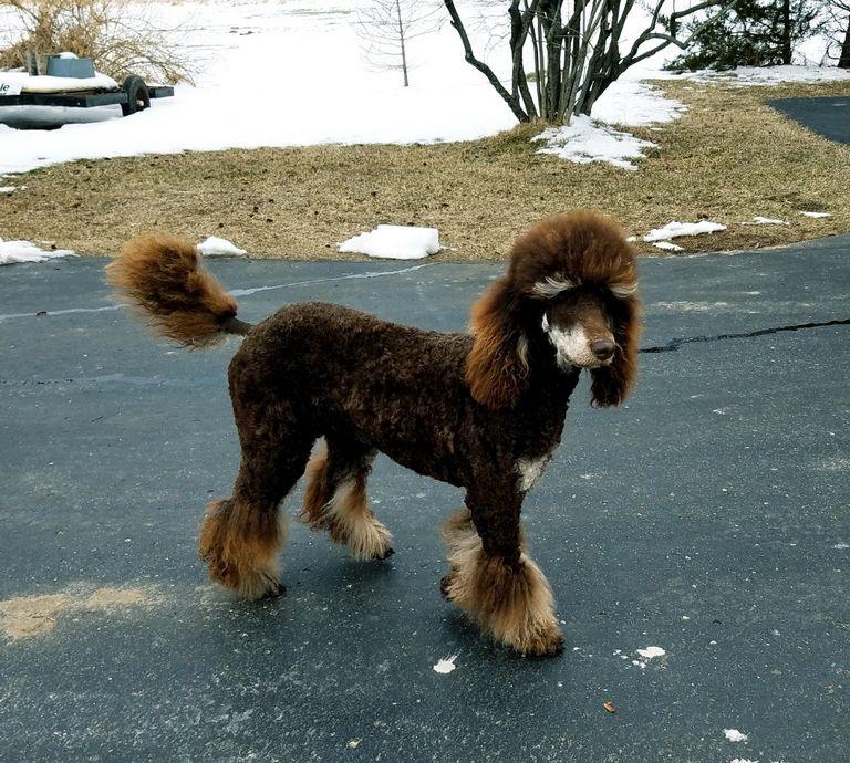 Moyen Poodles For Sale 2018