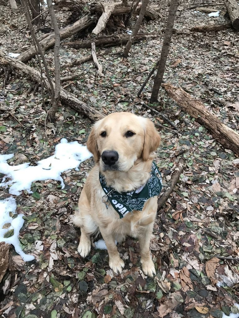 National Golden Retriever Rescue   Top Dog Information
