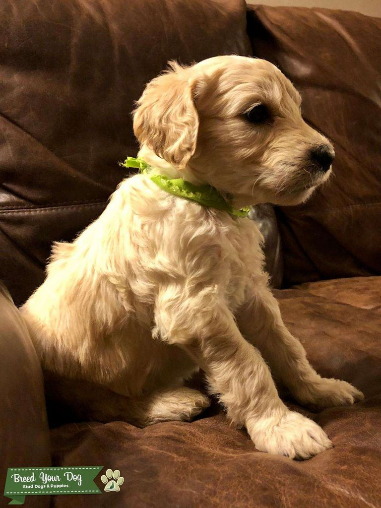 Nc Golden Retriever Puppies