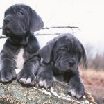 Neapolitan Mastiff Puppies For Sale In Va