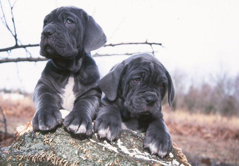 Neapolitan Mastiff Puppies For Sale In Va