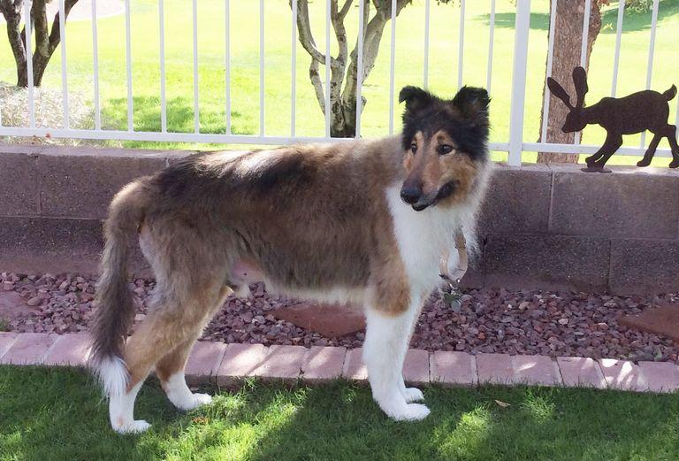 New Mexico Collie Rescue