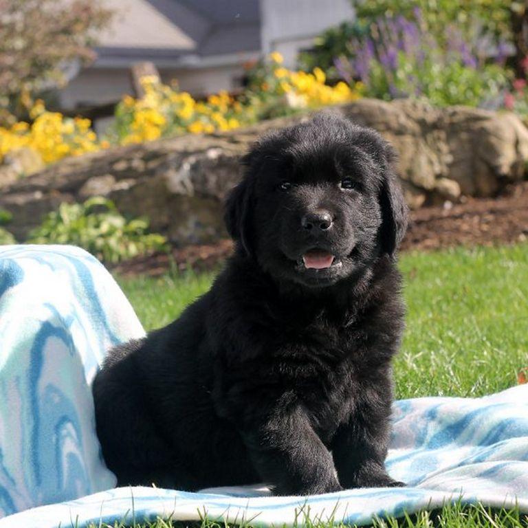 Newfoundland Puppies Green Bay Wi