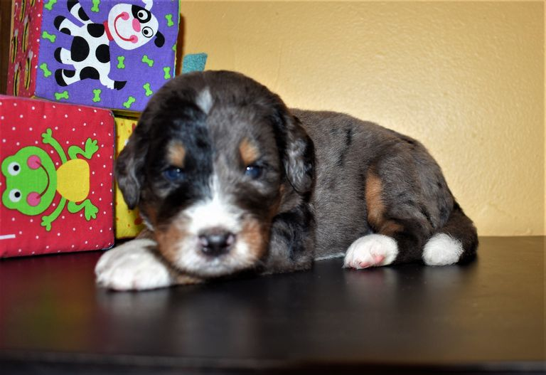 Newfypoo Puppies For Sale In Ohio | Top Dog Information