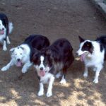 Northeast Border Collie Rescue