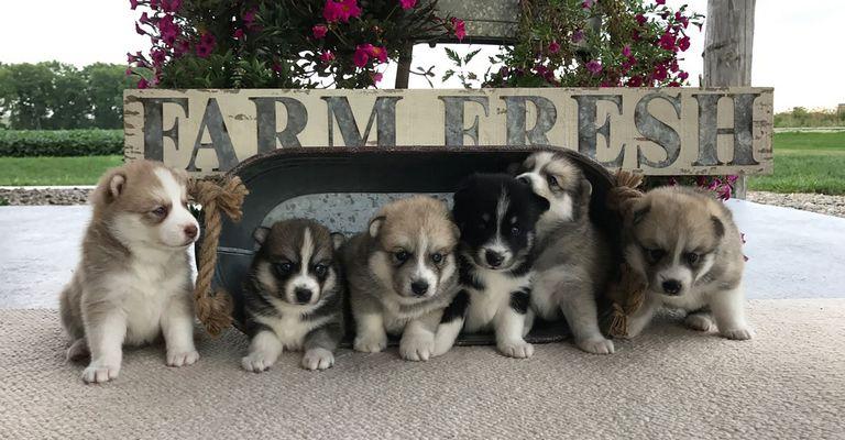 Northwest Iowa Puppies For Sale | Top Dog Information