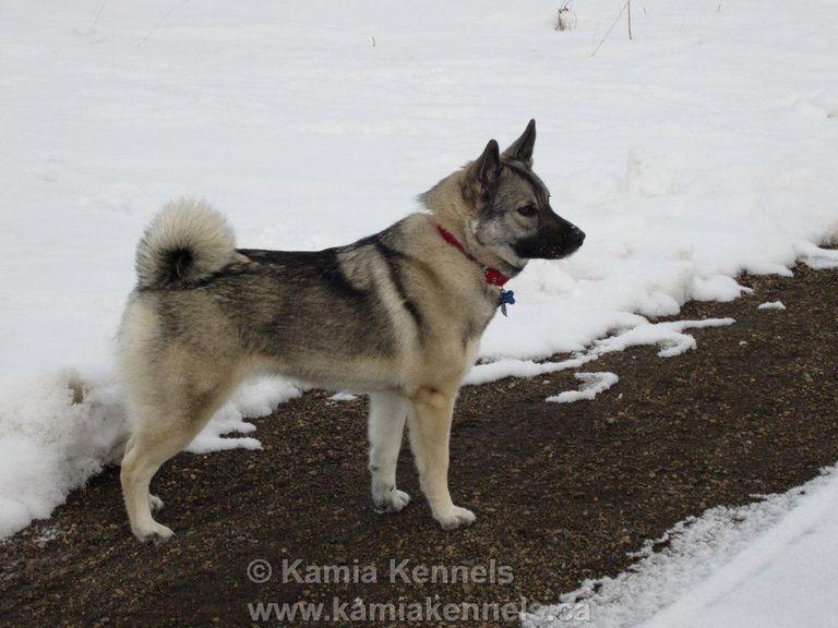 Norwegian Dog Commands