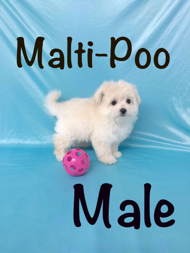 Ohio Sheltie Puppies For Sale $250