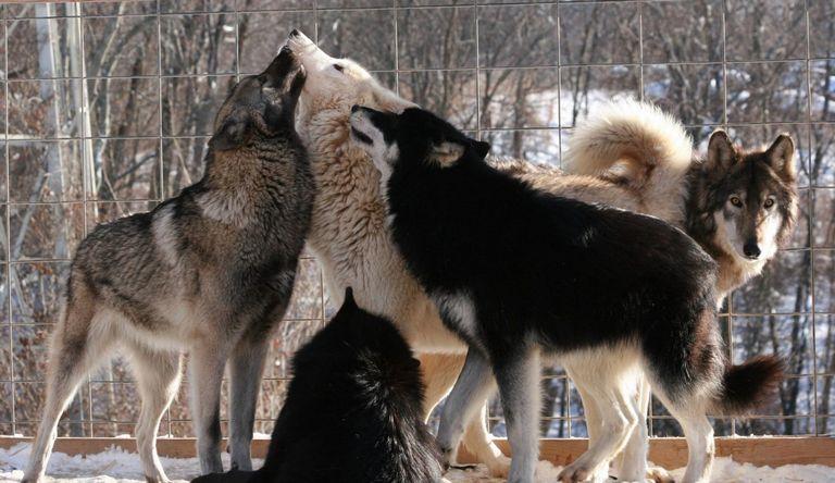 Ohio Wolf Dog Laws
