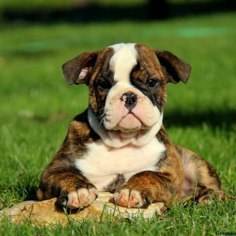 Old English Bulldog Puppies For Sale In Bay Area