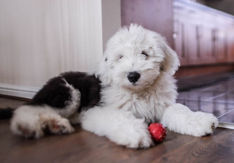Old English Sheepdog Puppies For Sale In Ny