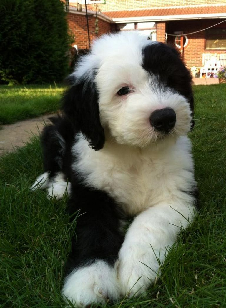 Old English Sheepdog Puppies For Sale In Va