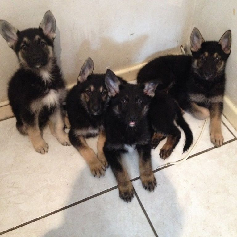 Old Fashioned Straight Backed German Shepherd Breeders