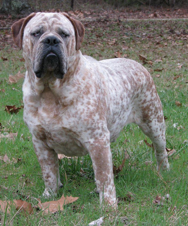 Olde English Bulldog Rescue Mn
