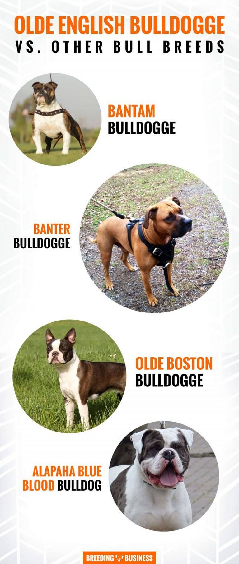 Olde English Bulldogge For Sale In Ohio