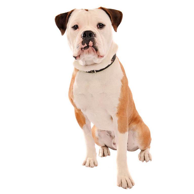 Olde English Bulldogge Puppies For Sale In Ohio
