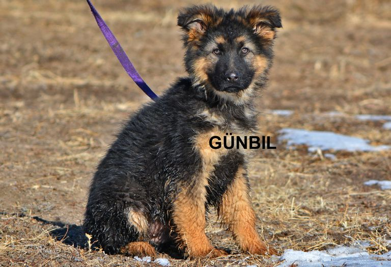 Pedigree German Shepherd Names
